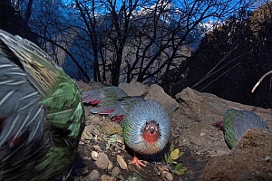 Blood pheasants (Ithaginis cruentus) foraging in habitat, one looking at the camera, Meli Snow Mountain National Park, Yunnan Province, China, January. Endemic. Taken with remote camera.  -  Dong Lei
