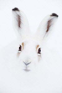 Mountain hare (Lepus timidus) head portrait. Vauldalen, Sor-Trondelag, Norway, April. - Erlend  Haarberg