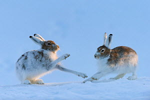 Mountain hares (Lepus timidus) boxing, Vauldalen, Sor-Trondelag, Norway, May. - Erlend  Haarberg