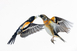 Brambling (Fringilla montifringilla) fighting. Vauldalen, Sor-trondelag. Norway, May. - Erlend  Haarberg
