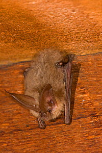 Solitary male Townsend's big-eared bat (Corynorhinus townsendiii) roosting in an abandoned house, Central Oregon, USA, June. - Michael Durham