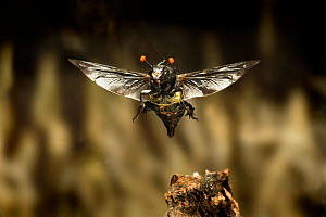 Carrion beetle (Nicrophorus carolinensis) in flight with parasitic mites living on exoskeleton, Texas, USA, September.  -  Michael Durham