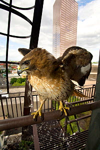 Red tailed hawk (Buteo jamaicensis) perched on a fire escape, Downtown Portland, Oregon, USA, May.  -  Michael Durham