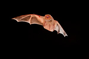 Female Eastern red bat (Lasiurus borealis) in flight with mouth open, near the Conasauga River, Chattahoochee National Forest, Georgia, USA, July.  -  Michael Durham