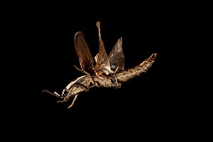 Eyed-elater / Click beetle (Alaus sp) in flight at night, Lost Pines Forest, Central Texas, USA, March.  -  Michael Durham