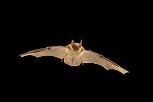 Young Fringed myotis bat (Myotis thysanodes) in flight, Coconino National Forest, Arizona, USA, July.  -  Michael Durham