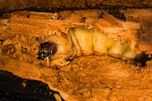 Giant root borer beetle (Prionus californicus) larva boring through decaying soft wood, Colevlle National Forest, Washington, USA, October.  -  Michael Durham