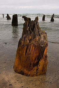 2000 year old tree stumps uncovered by coastal erosion, Ghost Forest near Neskowin, Oregon Coast, USA, April 2008.  -  Michael Durham