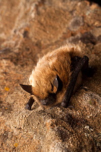 Western small-footed bat / myotis (Myotis ciliolabrum) roosting on a rock at night, near Sulphur Springs, Washington, USA, June. - Michael Durham
