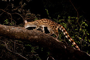 Rusty-spotted / Panther genet (Genetta maculata) walking along branch, Matobo National Park, Zimbabwe, November. - Michael Durham