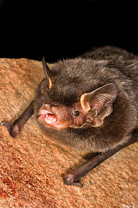 Silver-haired bat (Lasionycteris noctivagans) on rock, that was rescued as a pup, raised to adulthood, and ready for release into the wild, Central Washington, USA, June. - Michael Durham