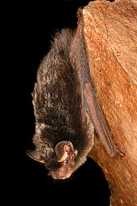 Silver-haired bat (Lasionycteris noctivagans) on rock, rescued as a pup, raised to adulthood, and ready for release into the wild, Central Washington, USA, June. - Michael Durham