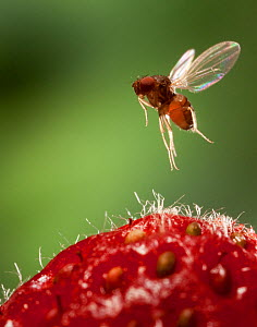 Female Spotted wing fruit fly (Drosophila suzukii) in flight over a strawberry, Oregon, USA, March.  -  Michael Durham