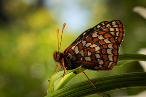 The Taylor's checkerspot butterfly (Euphydryas editha taylori) on leaf, Willamette Valley, Oregon, USA, July. - Michael Durham