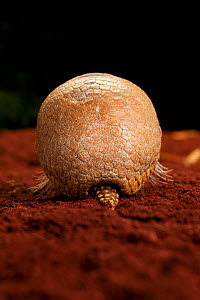 Rear view of La Plata / Southern three-banded armadillo (Tolypeutes matacus) Captive. - Michael Durham