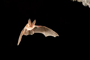 Townsend's big-eared bat (Corynorhinus / Plecotus townsendii) flying out of cave at dusk, Derrick Cave complex, Central Oregon, USA, August. - Michael Durham