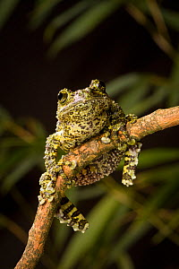 Vietnamese mossy frog (Theloderma corticale) clinging to branch, native to Northern Vietnam, Captive. - Michael Durham