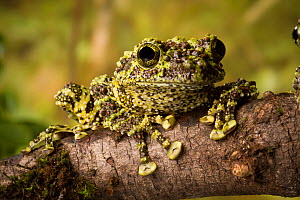 Vietnamese mossy frog (Theloderma corticale) on branch, native to Northern Vietnam, Captive. - Michael Durham