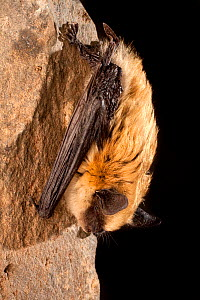 Western small-footed bat (Myotis ciliolabrum) roosting on rock at night, near Sulphur Springs, Washington, USA, June. - Michael Durham