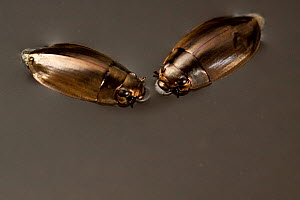 Two Whirligig / Gyrinidae beetles (Dineutus sp) swimming on pond, Central Texas, USA, March.  -  Michael Durham