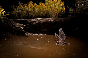 Myotis bat flying hunting over small watering hole in the high-desert of Central Oregon, USA, September. - Michael Durham
