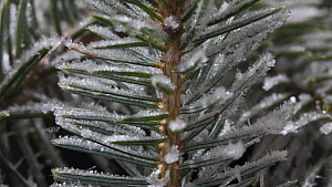 Timelapse of frost forming on conifer needles, controlled conditions, Somerset, England, UK. - Alastair MacEwen