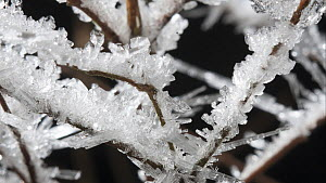 Timelapse of frost forming on twigs, controlled conditions, Somerset, England, UK.  -  Alastair MacEwen