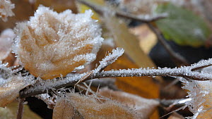 Timelapse of frost forming on European beech (Fagus sylvatica) leaves, controlled conditions, Somerset, England, UK.  -  Alastair MacEwen