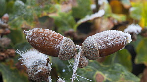 Timelapse of frost forming on acorns (Quercus robur), controlled conditions, Somerset, England, UK.  -  Alastair MacEwen