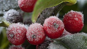 Timelapse of frost forming on Firethorn (Pyracantha) berries, controlled conditions, Somerset, England, UK.  -  Alastair MacEwen