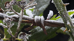 Timelapse of frost forming on barbed wire, controlled conditions, Somerset, England, UK.  -  Alastair MacEwen