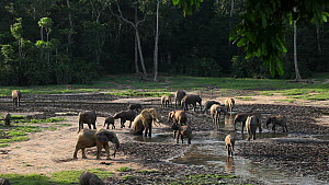 Wide shot of a group of African forest elephants (Loxodonta cyclotis) at Dzanga Bai, with a bull elephant going down on his knees,  Dzanga-Ndoki National Park, Sangha-Mbaere Prefecture, Central Africa... - Jabruson Motion