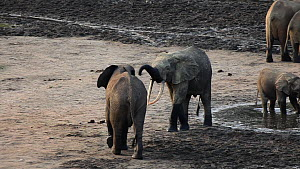 Two male African forest elephants (Loxodonta cyclotis) greeting each other at a mineral dig, Dzanga Bai, Dzanga-Ndoki National Park, Sangha-Mbaere Prefecture, Central African Republic.  -  Jabruson Motion