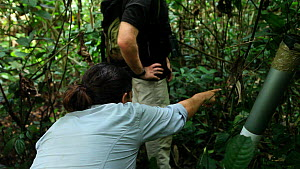 Virginia Rodriguez Ponga, Ken Cameron and Chris Whittier, veterinarians employed by the Primate Habituation Project observing a juvenile Western gorilla (Gorilla gorilla) with a snare around its rest...  -  Jabruson Motion