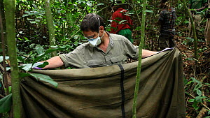 Dr Ken Cameron holding up a sheet to protect 'Ngobo', a blackback Western gorilla (Gorilla gorilla) anaesthetized to remove a wire snare from its wrist, in order to protect it from other gorillas, wit...  -  Jabruson Motion