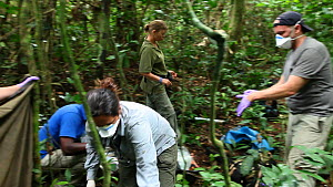 Dr Virginia Rodriguez Ponga examining 'Ngobo', a blackback Western gorilla (Gorilla gorilla) anaesthetized to remove a wire snare from its wrist, with Dr Ken Cameron holding up a sheet in order to pro...  -  Jabruson Motion