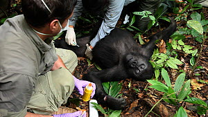 Dr Ken Cameron cleaning a wound on 'Ngobo', a blackback Western gorilla (Gorilla gorilla) anaesthetized to remove a wire snare from its wrist, with other veterinarians nearby, Mongambe, Dzanga-Ndoki N...  -  Jabruson Motion
