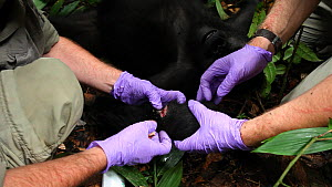 Dr Ken Cameron cleaning a wound on 'Ngobo', a blackback Western gorilla (Gorilla gorilla) anaesthetized to remove a wire snare from its wrist, joined by Dr Chris Whittier, Mongambe, Dzanga-Ndoki Natio...  -  Jabruson Motion