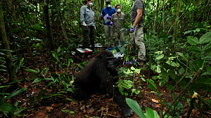 Blackback Western gorilla (Gorilla gorilla) 'Ngobo' waking up from anaesthetic after having a wire snare removed from its wrist, with veterinary team in the background, Mongambe, Dzanga-Ndoki National... - Jabruson Motion