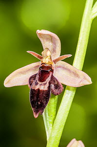 Hybrid orchid (Ophrys x pietschii) of Bee orchid (Ophrys apifera) and Fly orchid hybrid (insectifera) found just off the A303, Wiltshire, UK. June.  -  Paul  Harcourt Davies