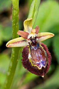 Hybrid orchid (Ophrys x macchiatii) hybrid of Early spider (Ophrys sphegodes) and Mirror orchids (Ophrys speculum) Porto Ferraio, Elba, Tuscany, Italy, March.  -  Paul  Harcourt Davies