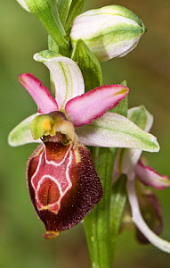 Hybrid orchid (Ophrys  x arachnitiformis) hybrid of Early spider orchid (Ophrys sphegodes) and the Late spider orchid (Ophrys fuciflora)  Porto Ferraio, Elba, Tuscany, Italy, March.  -  Paul  Harcourt Davies