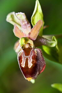 Hybrid ophrys, hybrid of Ophyrs crabronifera ssp biscutella x Ophrys passionis, near Ruggiano where numbers of hybrids occur. Monte St Angelo, Gargano, Puglia, Italy, April.  -  Paul  Harcourt Davies