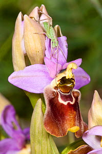 Hybrid orchid (Ophrys x francinae) hybrid of Sawfly orchid (Ophrys tenthredinifera) and  Ophrys apulica, near Monte St Angelo, Gargano. Italy, April.  -  Paul  Harcourt Davies