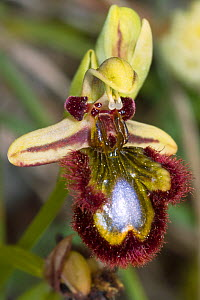 Mirror Orchid (Ophrys ciliata / Ophrys speculum) Ferla, Sicily, Italy, May. - Paul  Harcourt Davies