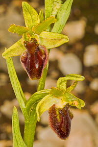 Early Spider Ophrys (Ophrys sphegodes) Terni, Umbria, Italy. May.  -  Paul  Harcourt Davies