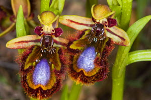 Mirror Orchid (Ophrys ciliata / Ophrys speculum) near Grotte di Castro, Lazio, Italy, April. - Paul  Harcourt Davies