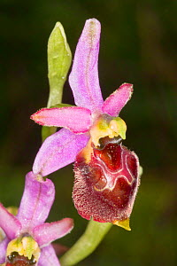 Hybrid orchid (Ophrys x camusii), hybrid of Hornet orchid (Ophrys crabronifera) and Early spider ophrys (Ophrys spegodes) Piediluco, Terni, Umbria, Italy, May.  -  Paul  Harcourt Davies