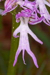 Naked Man Orchid (Orchis italica) Pescia Romana, Orbetello, Lazio, Italy, April.  -  Paul  Harcourt Davies