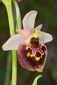 Small-patterned Ophrys (Ophrys fuciflora ssp. parvimaculata) Lesina, Gragnao, Puglia, Italy, April.  -  Paul  Harcourt Davies